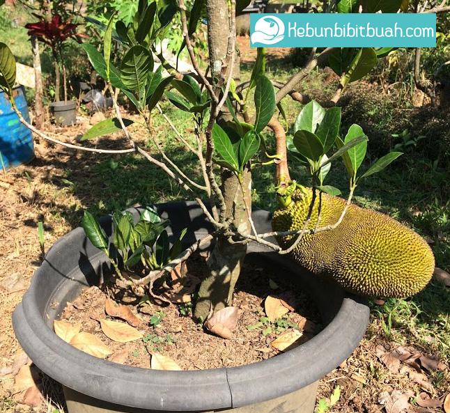 nangka mini kebun bibit buah