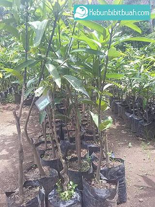 bibit mangga yuwen kebun bibit buah
