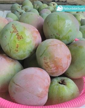 bibit mangga agrimania kebun bibit buah