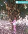 bauh duku palembang kebun bibit buah