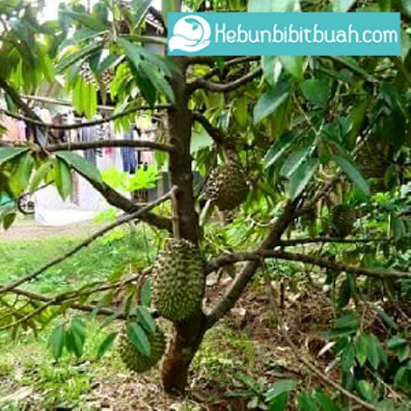 durian bawor kebunbibitbuah