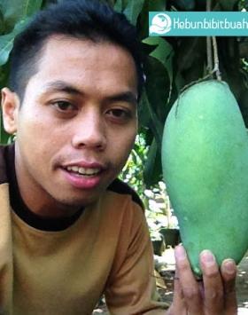mangga kiojay kebun bibit buah