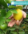 lemon australia kebun bibit buah