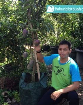 mangga irwin kebun bibit buah