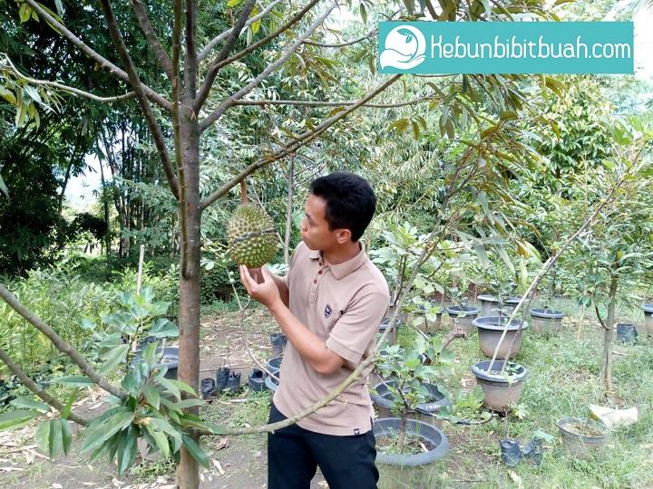musang king kebunbibitbuah.com