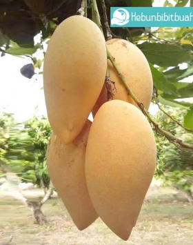 mangga namdokmai kebun bibit buah