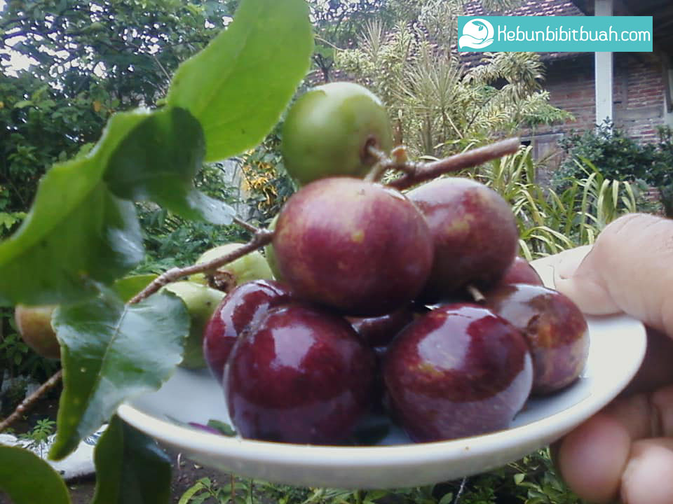 plum ausie kebun bibit buah