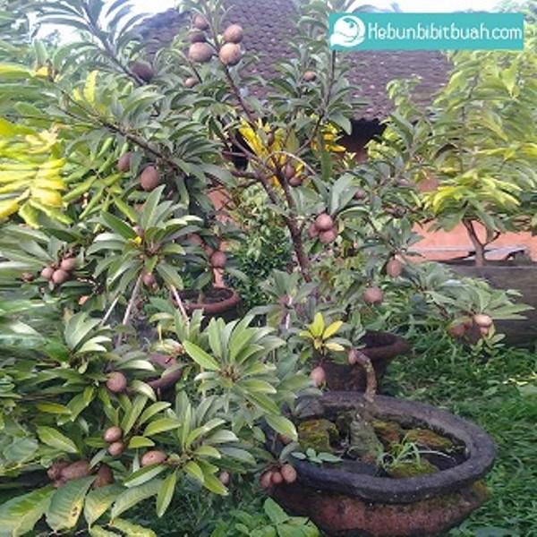 sawo manila kebun bibit buah
