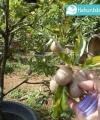 sawo variegata kebun bibit buah