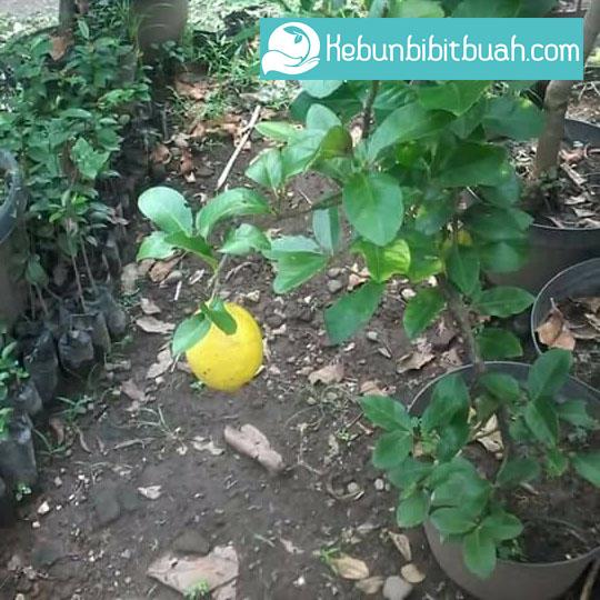 tabulampot lemon australia kebun bibit buah