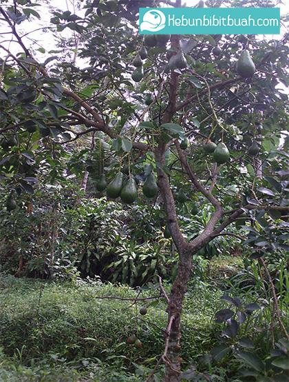 pohon alpukat pluang kebun bibit buah