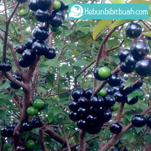 anggur brazil sabara kebun bibit buah