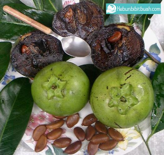 black sapote kebun bibit buah