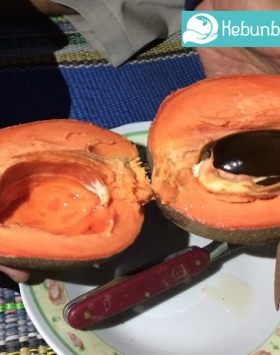 daging mamey sapote keywest kebun bibit buah