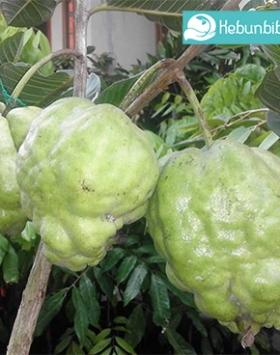 jambu farang kebun bibit buah