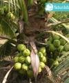 kelapa genjah entog kebun bibit buah