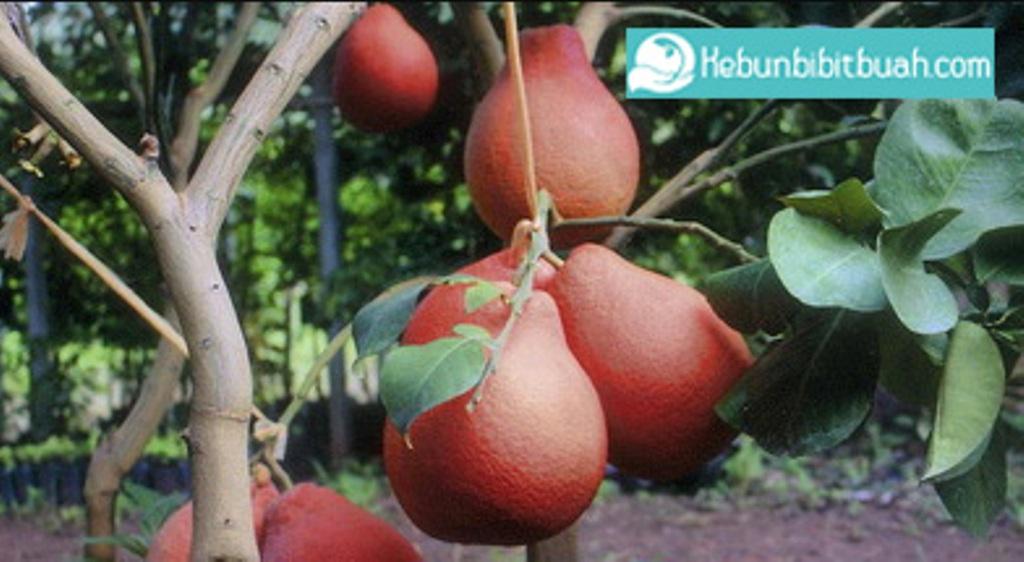 red pamelo kebun bibit buah