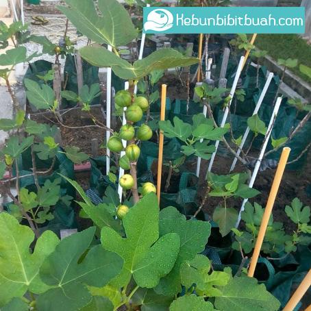 pohon buah tin martinance rimada kebun bibit buah