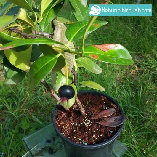 tabulampot Black Grumichama kebun bibit buah