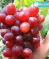 anggur ninel kebun bibit buah