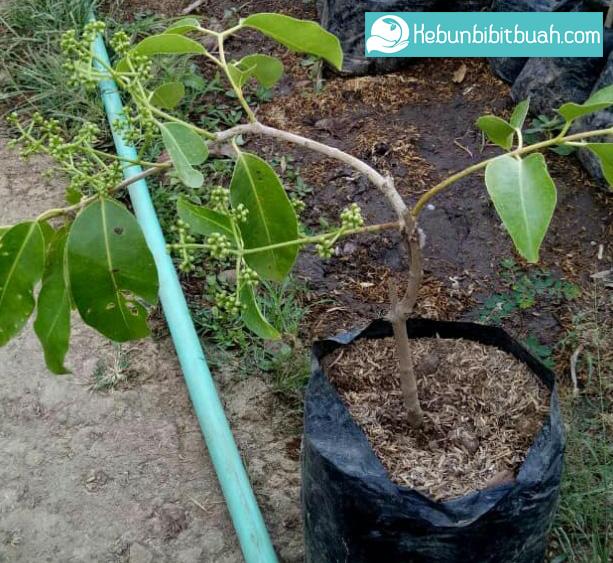 bibit duwet putih kebun bibit buah