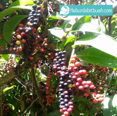 buah buni kebun bibit buah