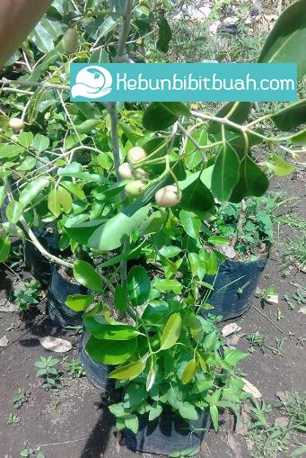 buah jamblang kebun bibit buah