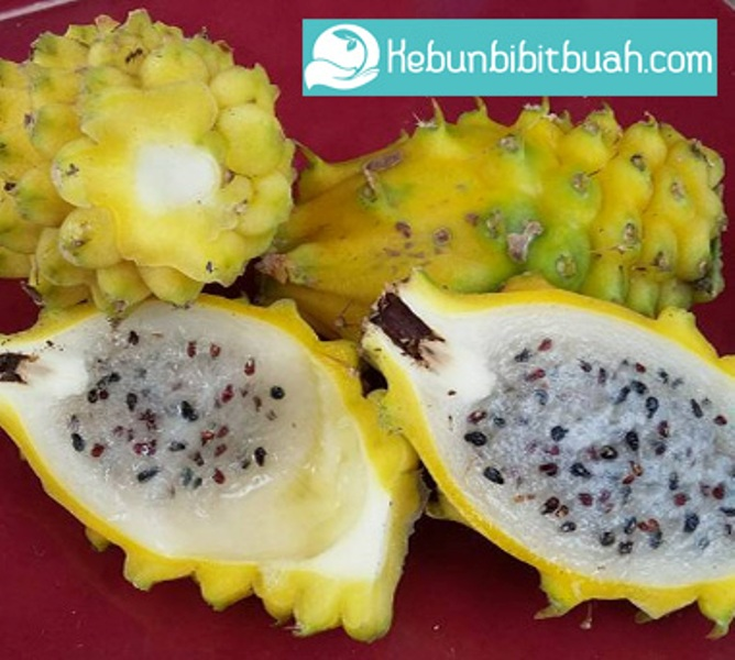 buah naga kuning kebun bibit buah