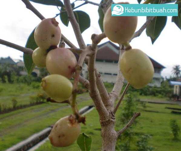 duwet putih kebun bibit buah