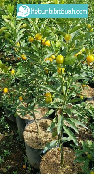 jeruk nagami berbuah kebun bibit buah