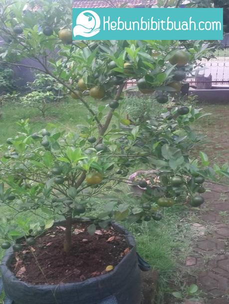 jeruk santang kebun bibit buah