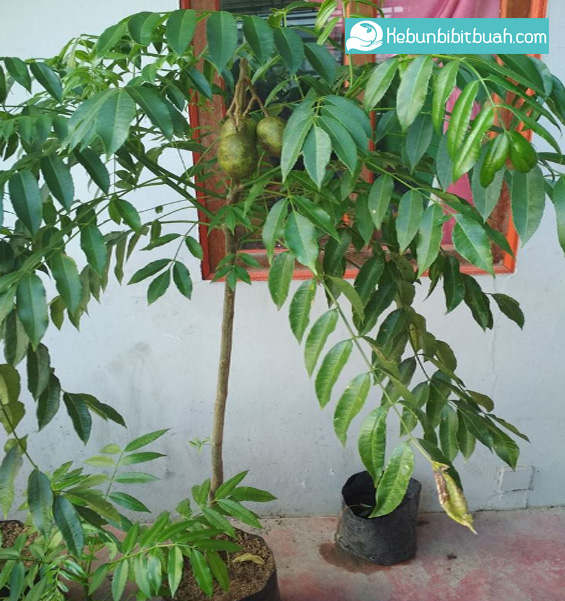 tabulampot kedondong kebun bibit buah