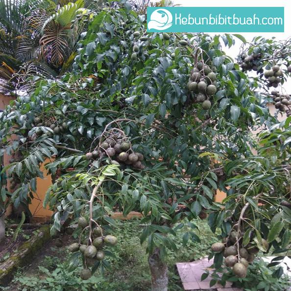 kedondong kebun bibit buah