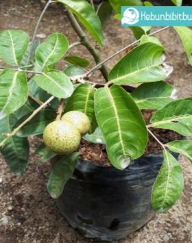 kelengkeng aroma durian kebun bibit buah