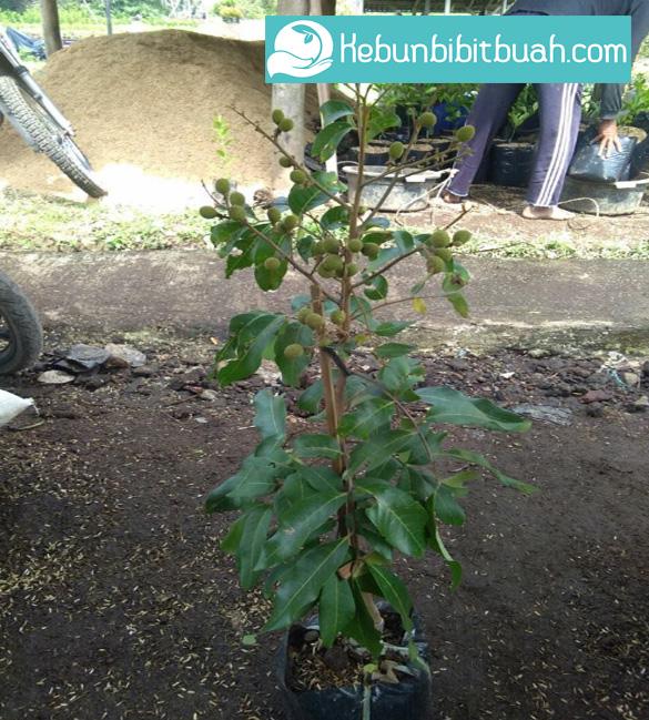 kelengkeng pingpong kebun bibit buah