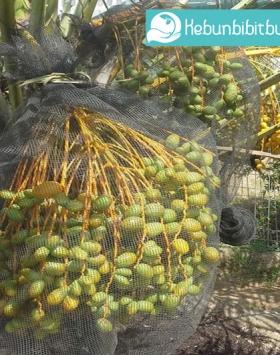 kurma ajwa kebun bibit buah