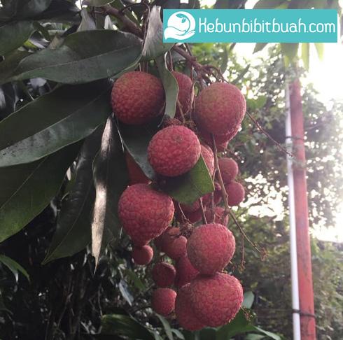 leci kebun bibit buah