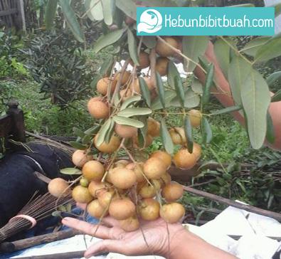 lengkeng pingpong kebun bibit buah