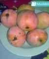 mangga gedong gincu kebun bibit buah