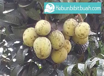 mangga kweni kebun bibit buah