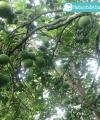 pamelo madu kebun bibit buah