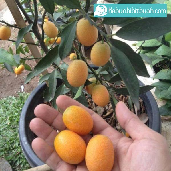 panen buah jeruk nagami kebun bibit buah