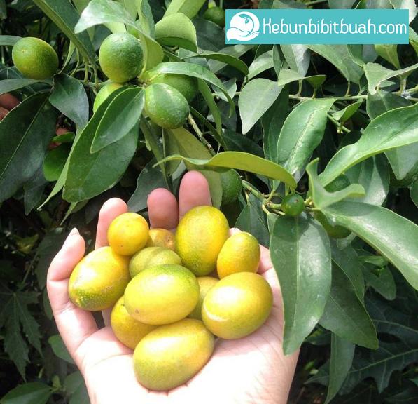 panen jeruk nagami kebun bibit buah
