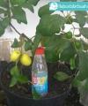 putsa apel india kebun bibit buah