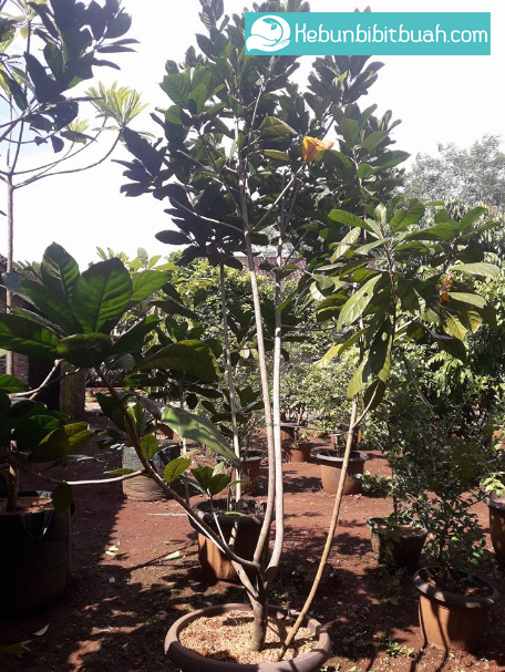 tabulampot green sapote kebun bibit buah