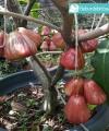 Tabulampot jambu air dalhari kebun bibit buah