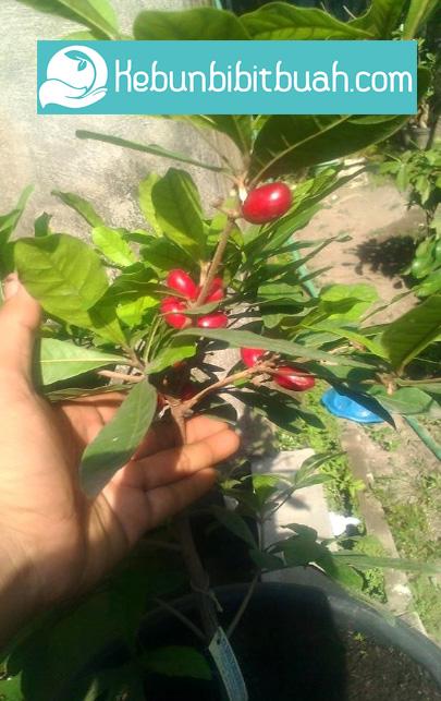tabulampot miracle fruit kebun bibit buah