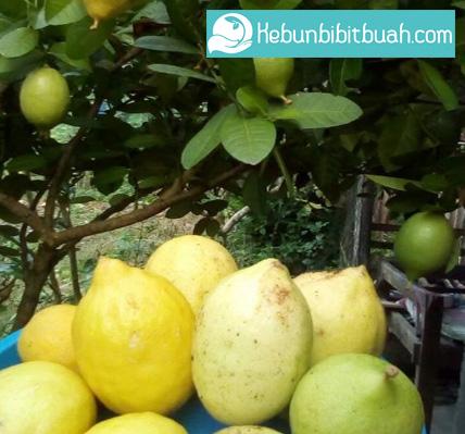 Cara Menanam Jeruk Lemon