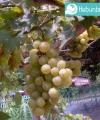 Tanaman Buah Anggur
