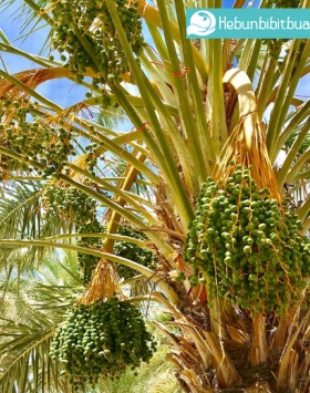 kurma medjool kebun bibit buah